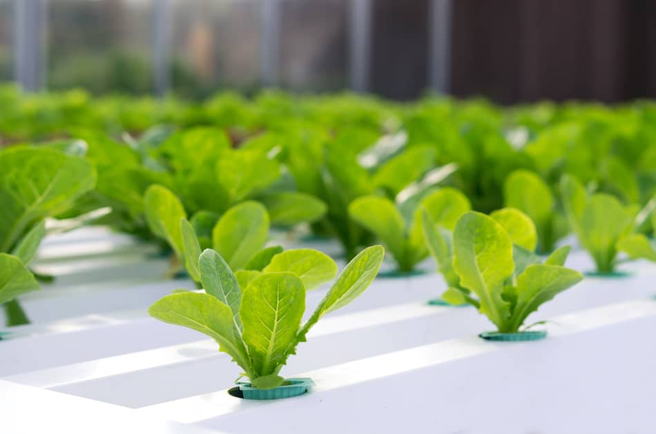 Seedlings in hydroponics
