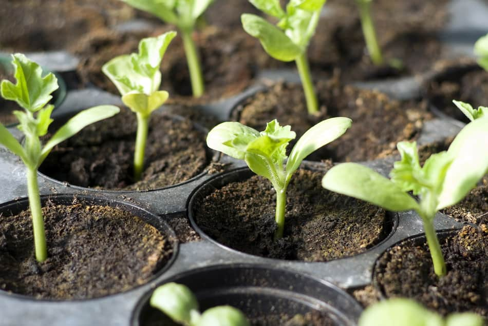 Seedlings with cotyledons and true leaves