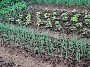 when to plant onion seeds and what you need
