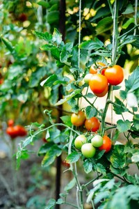 difference between growing tomatoes and other vegetates