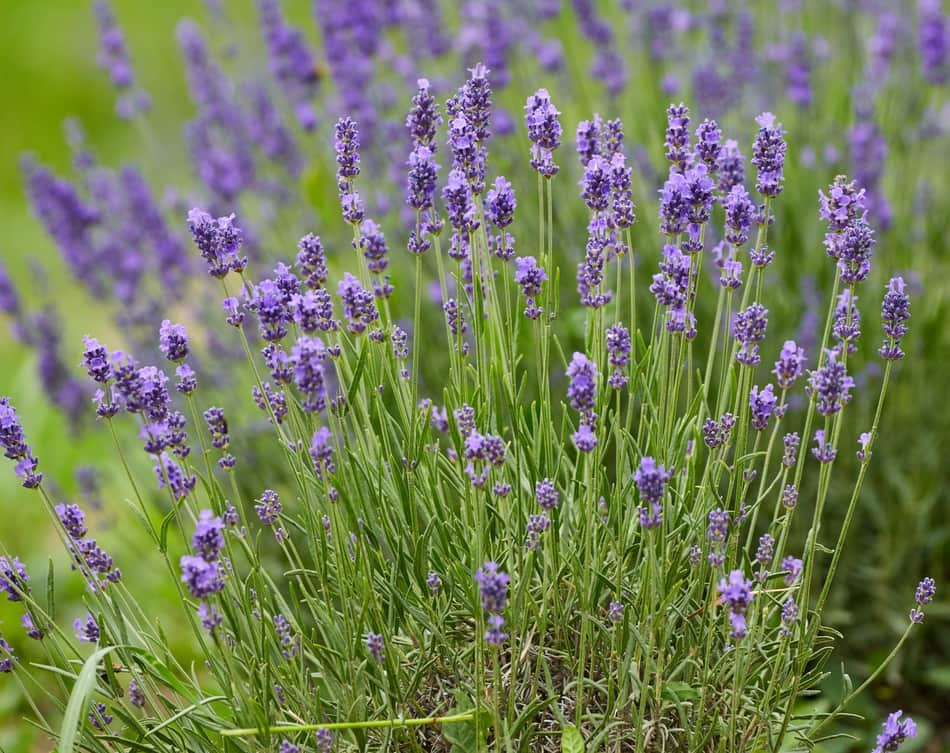 How To Grow Lavender Indoors Greenhouse Today