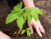 what type of soil is best for tomatoes
