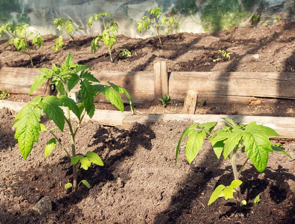 how to prepare tomato beds