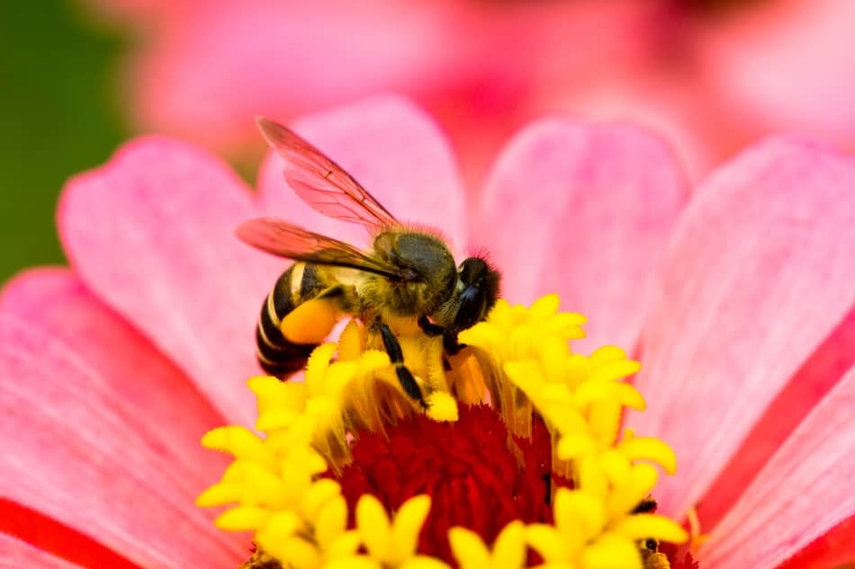 using bees for pollination