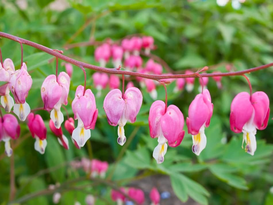 common problems with growing bleeding hearts