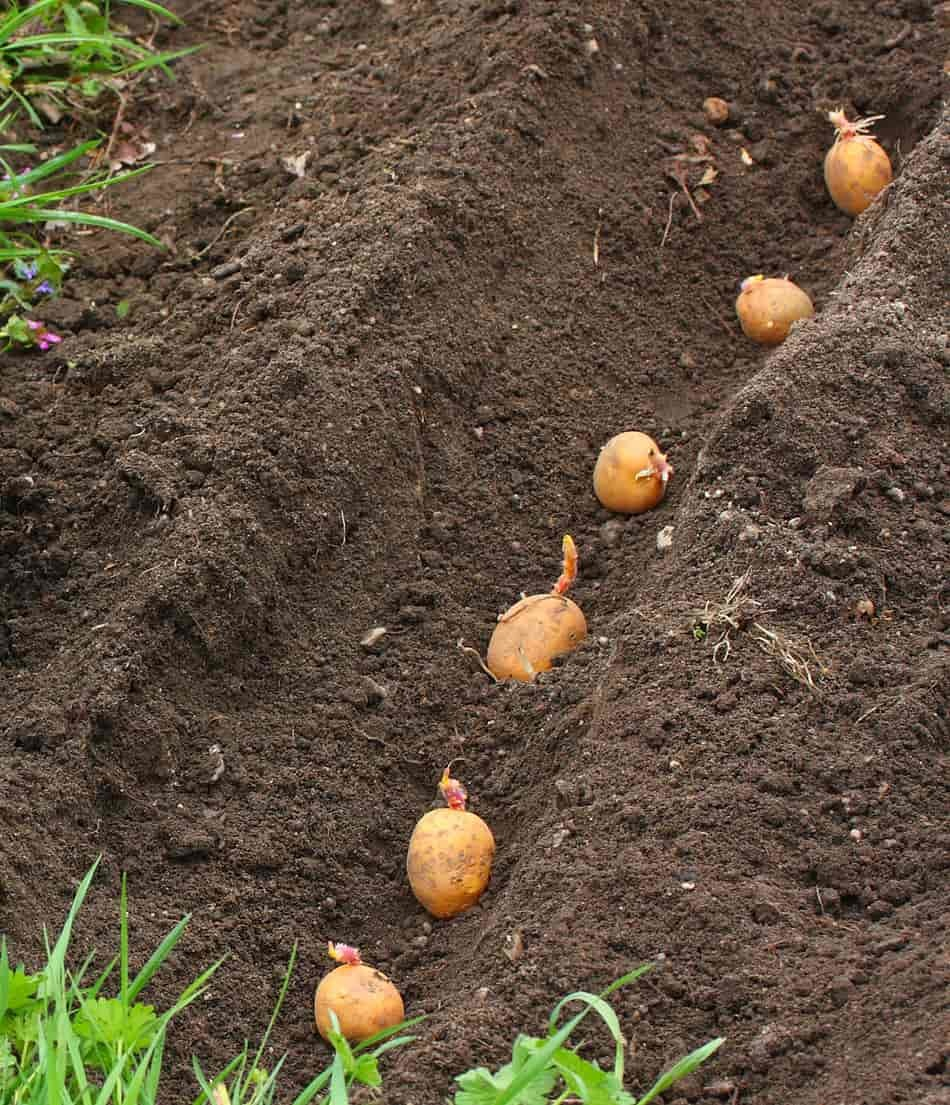 how to grow baby potatoes