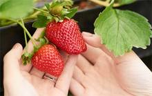 Indoor greenhouse strawberries