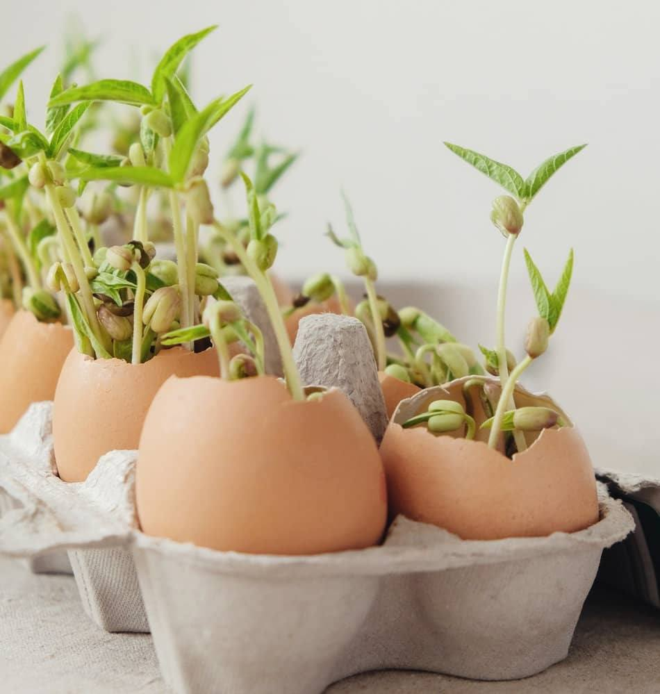 egg shells as seed starters
