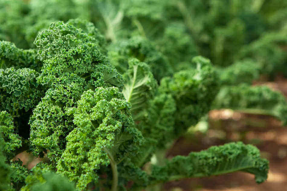 how to plant kale