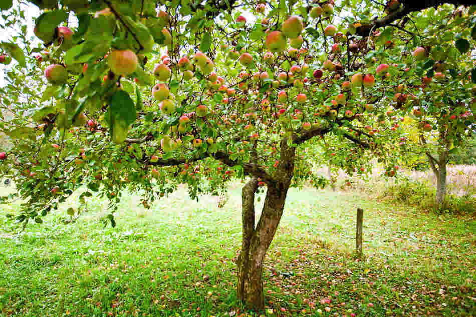 growing apples in kentucky based on hardiness zone