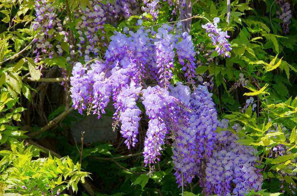 growing wisteria based on kentucky hardiness zone