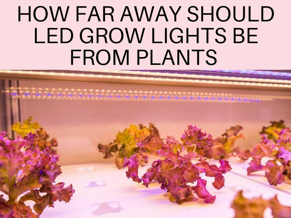How Far Away Should LED Grow Lights Be From Plants