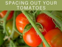 Spacing Out Your Tomatoes