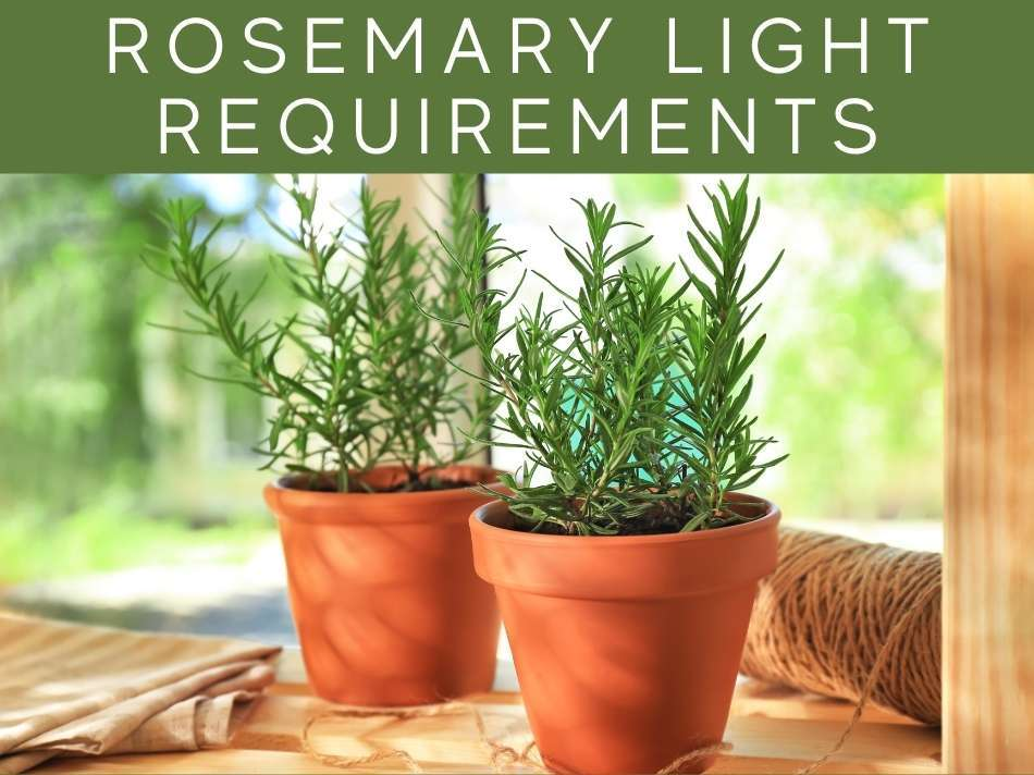 Rosemary Light Requirements