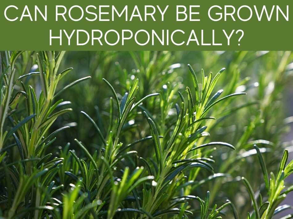 Can Rosemary Be Grown Hydroponically?