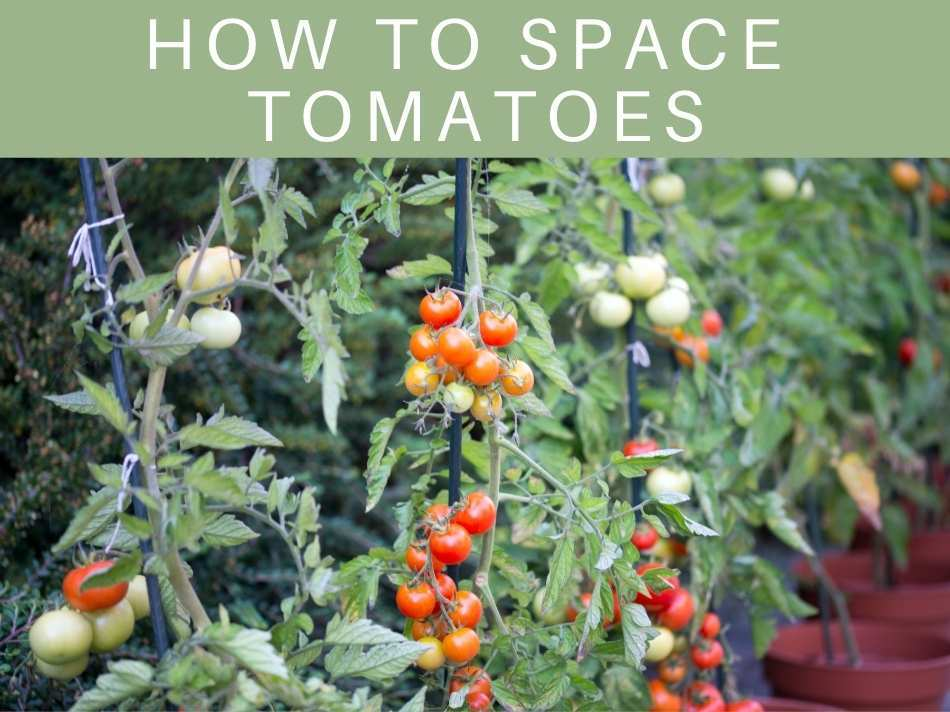 How To Space Tomatoes