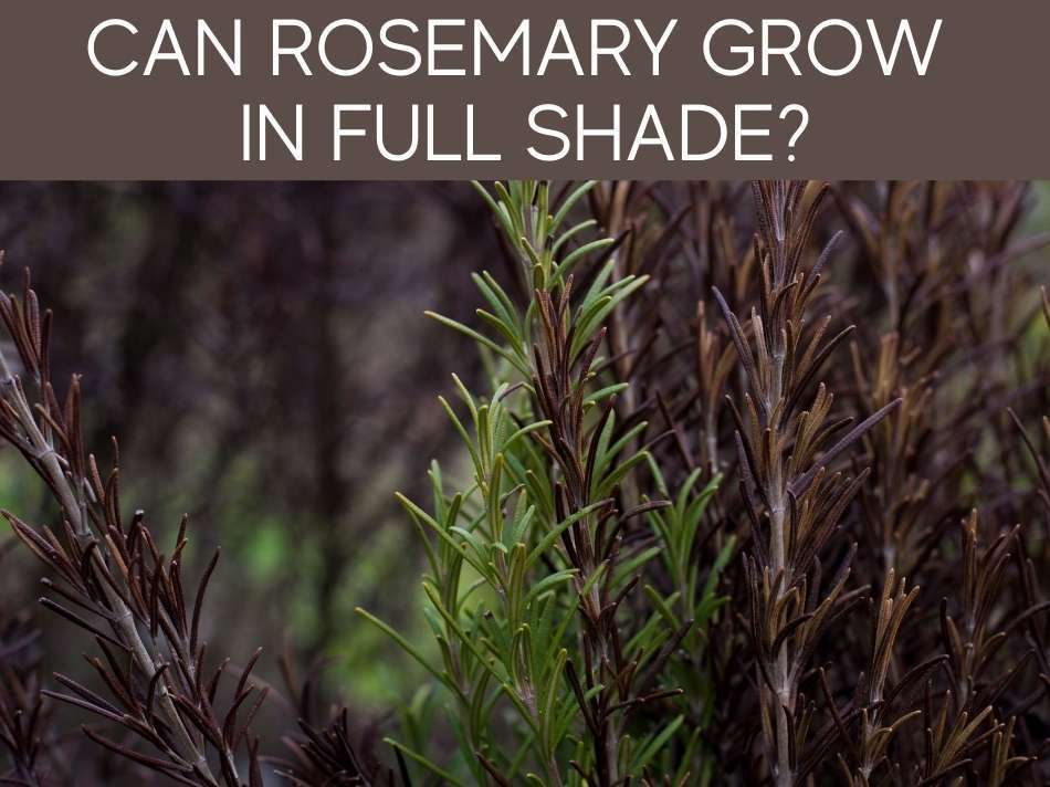 Can Rosemary Grow In Full Shade?
