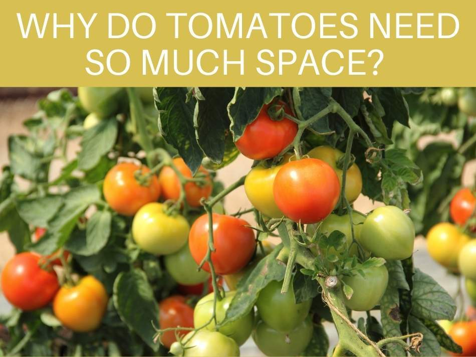 Why Do Tomatoes Need So Much Space?