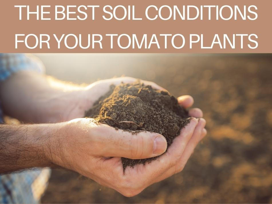 The Best Soil Conditions For Your Tomato Plants