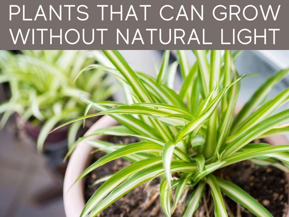 Plants That Can Grow Without Natural Light