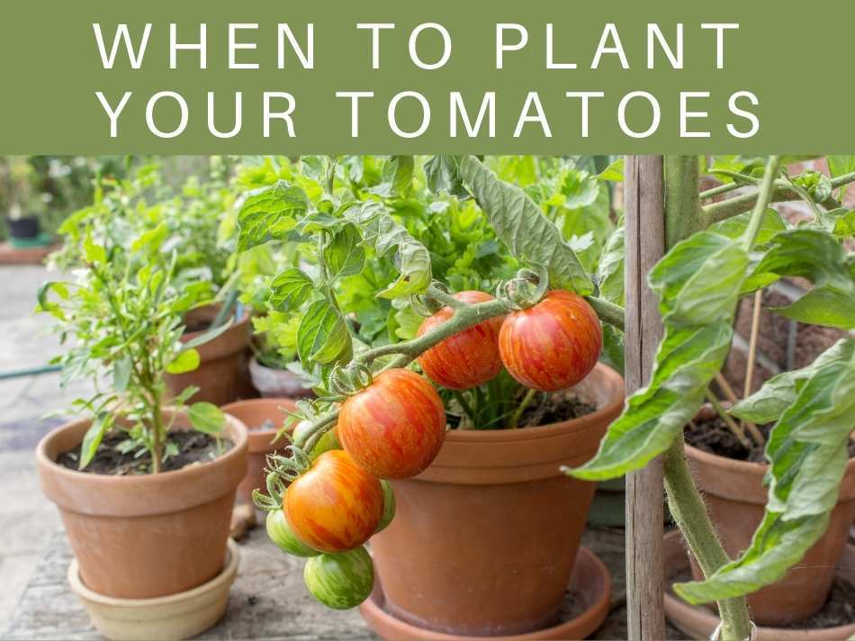 When To Plant Your Tomatoes