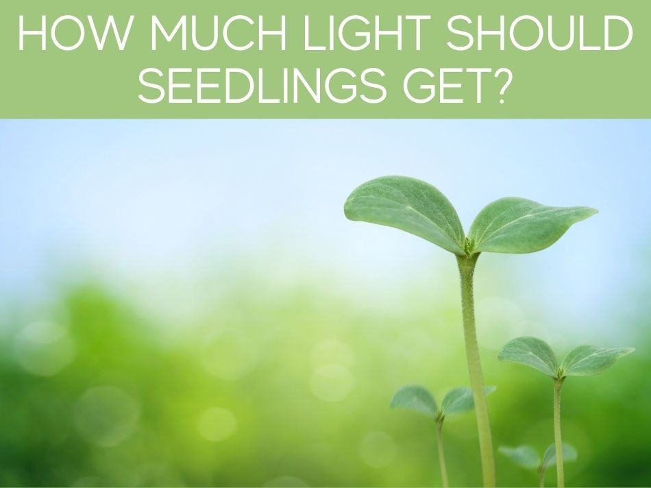 How Much Light Should Seedlings Get?