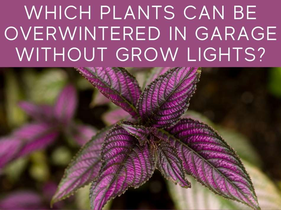 Which Plants Can Be Overwintered In Garage Without Grow Lights?