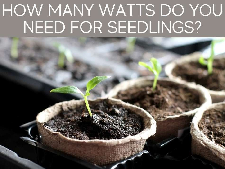 How Many Watts Do You Need For Seedlings?