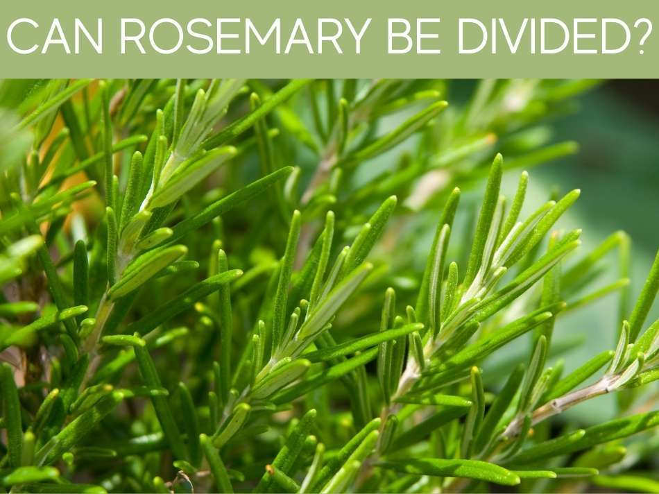 Can Rosemary Be Divided?