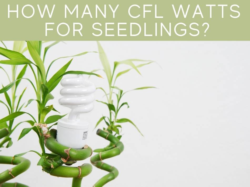 How Many CFL Watts For Seedlings?