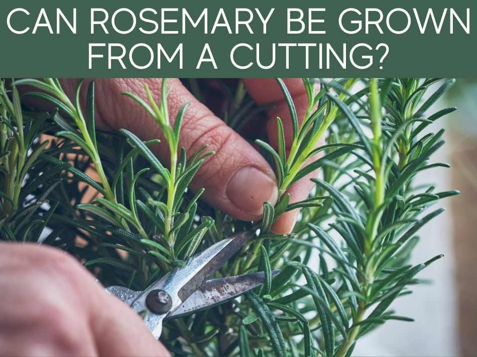 Can Rosemary Be Grown From A Cutting?