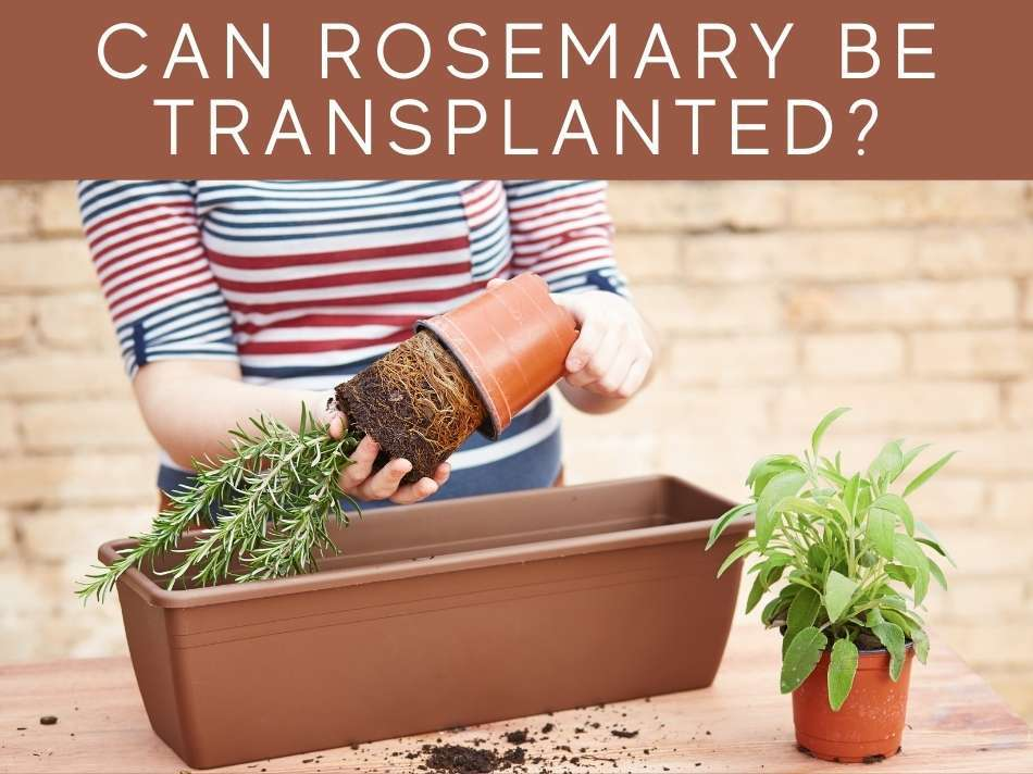 Can Rosemary Be Transplanted?