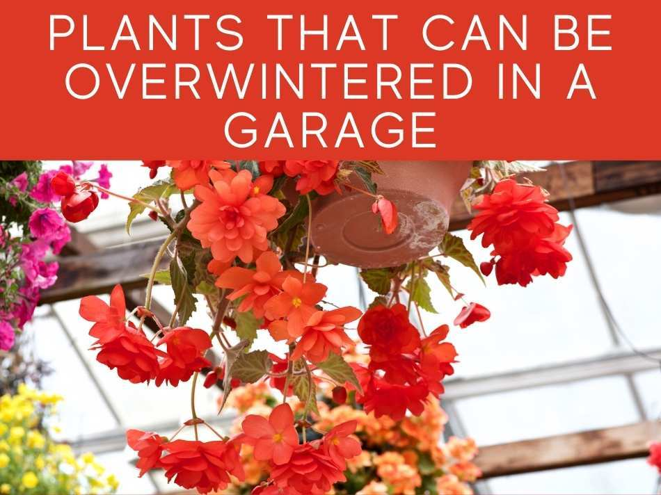 Plants That Can Be Overwintered In a Garage