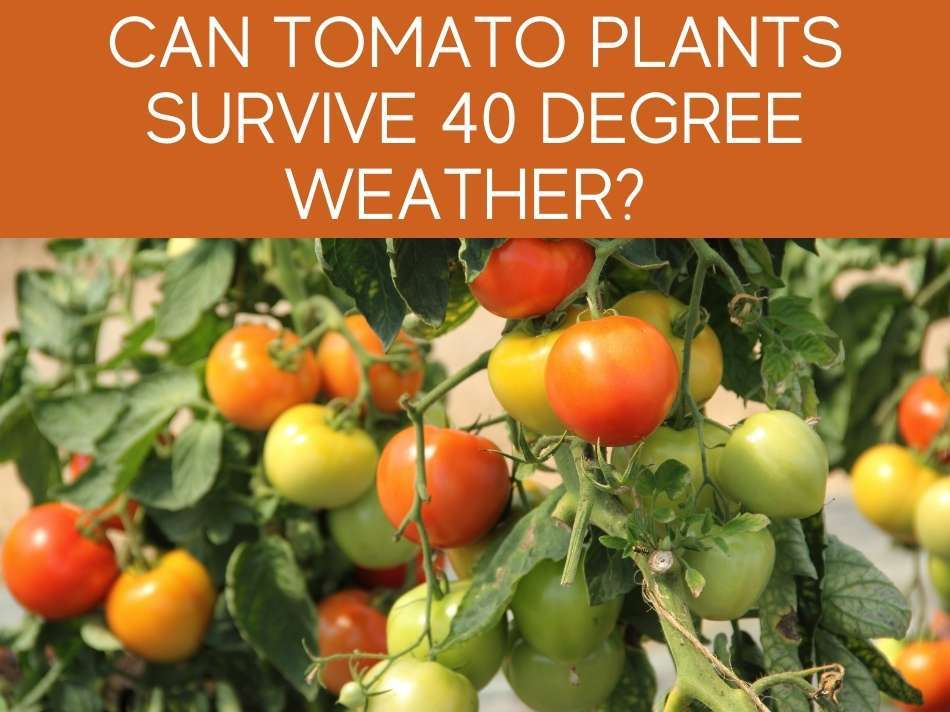 Can Tomato Plants Survive 40 Degree Weather?