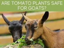 Are Tomato Plants Safe For Goats?