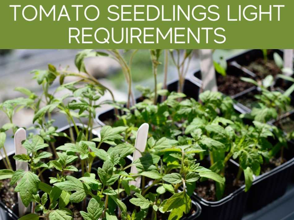 Tomato Seedlings Light Requirements
