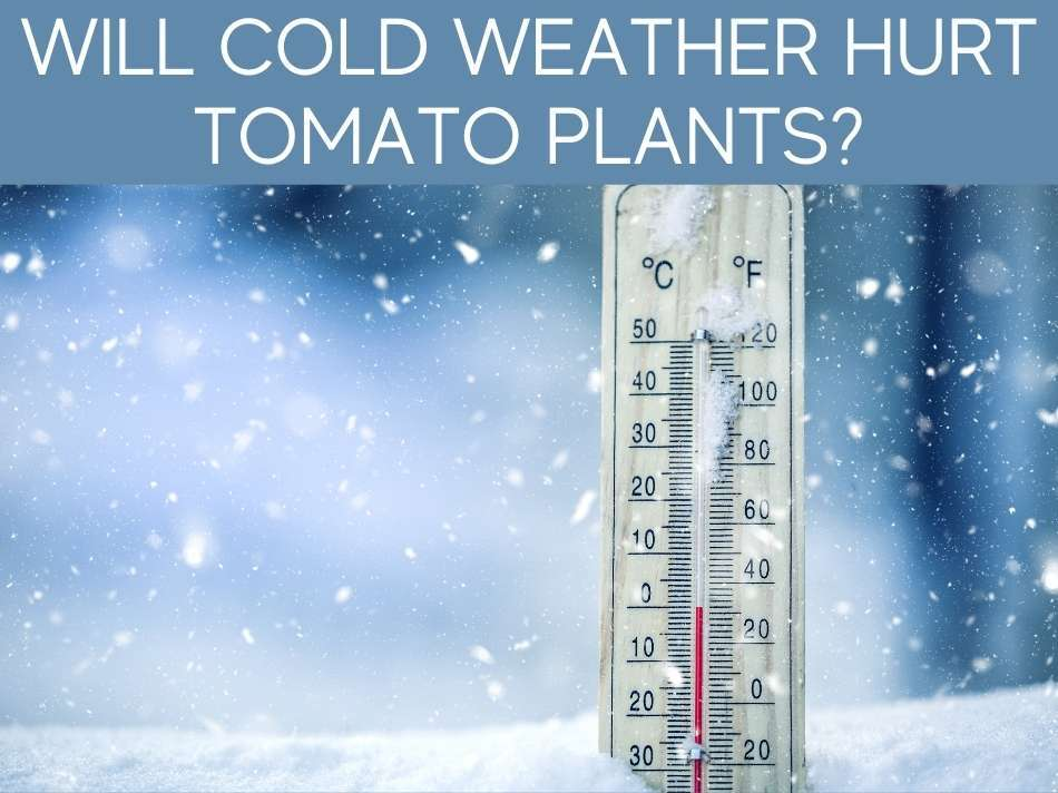 Will Cold Weather Hurt Tomato Plants?
