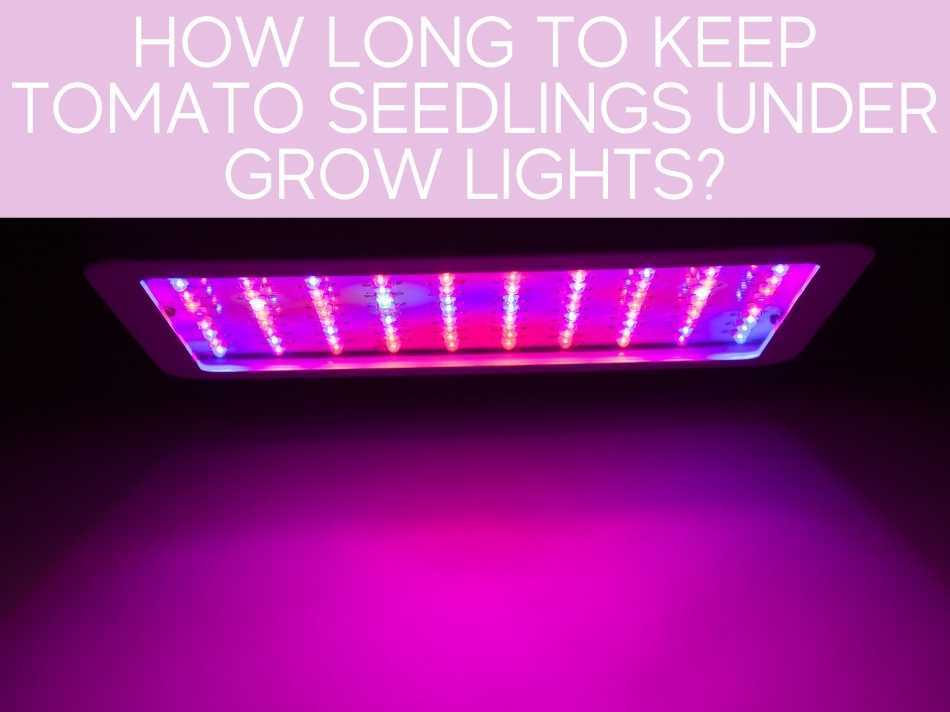 How Long To Keep Tomato Seedlings Under Grow Lights?