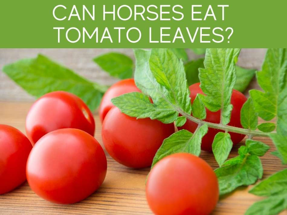 Can Horses Eat Tomato Leaves?