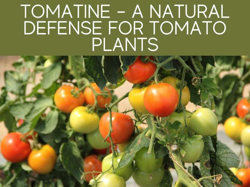 Tomatine - A Natural Defense For Tomato Plants