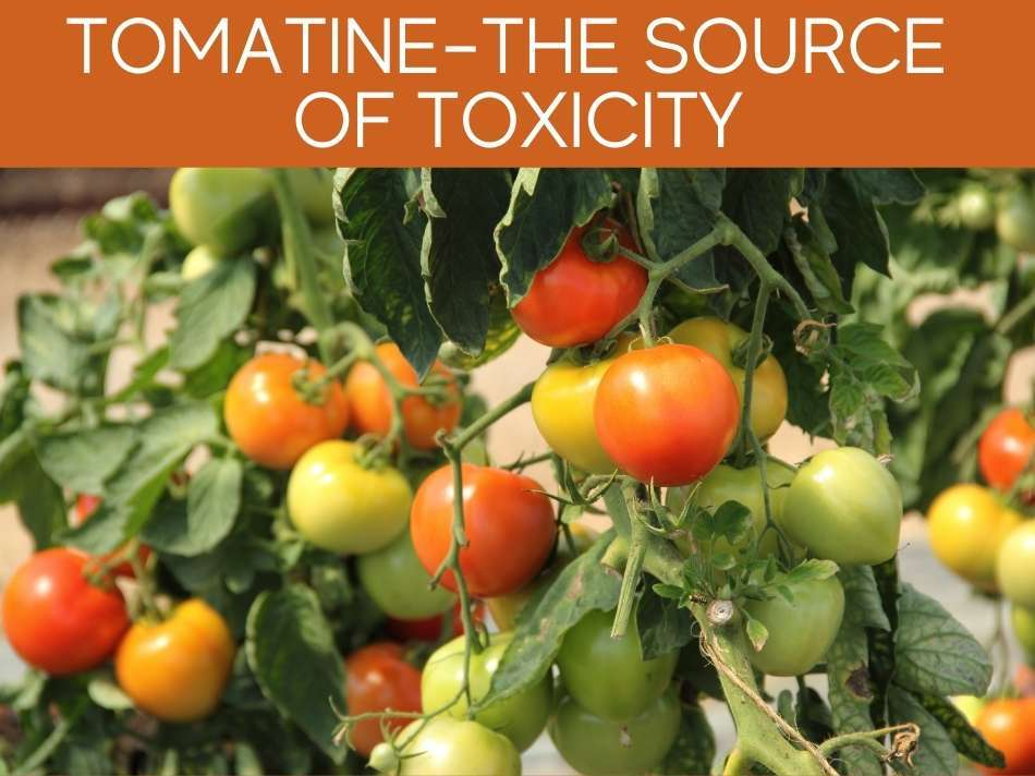 Tomatine- The Source Of Toxicity
