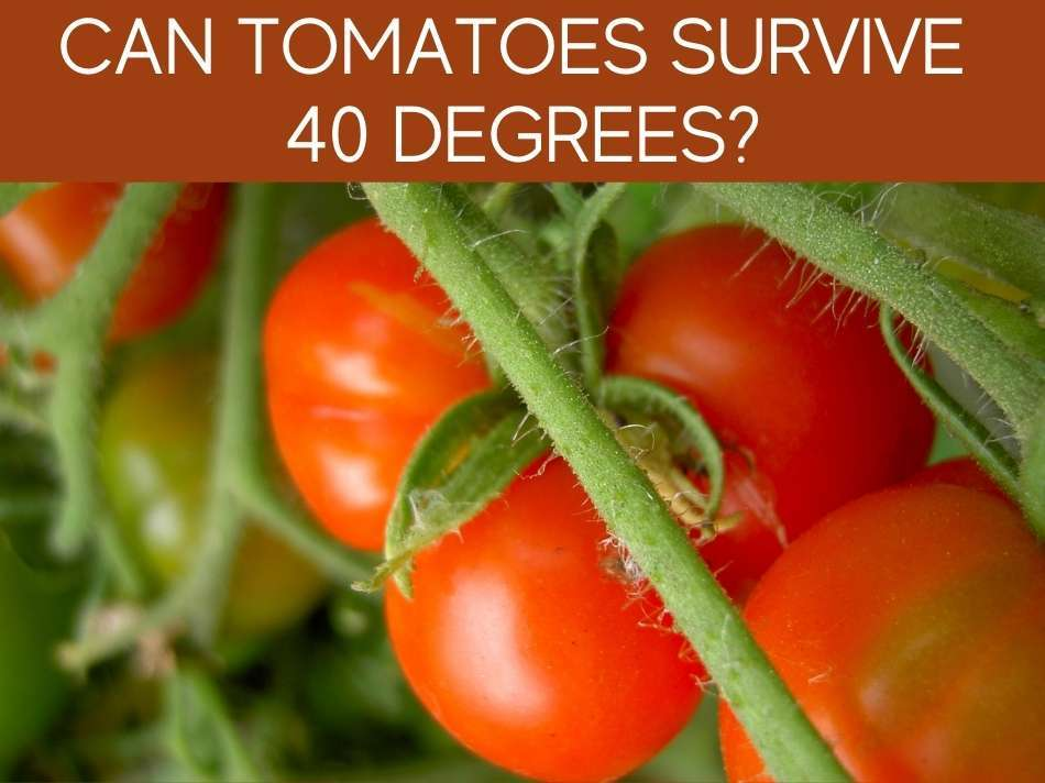 Can Tomatoes Survive 40 Degrees?