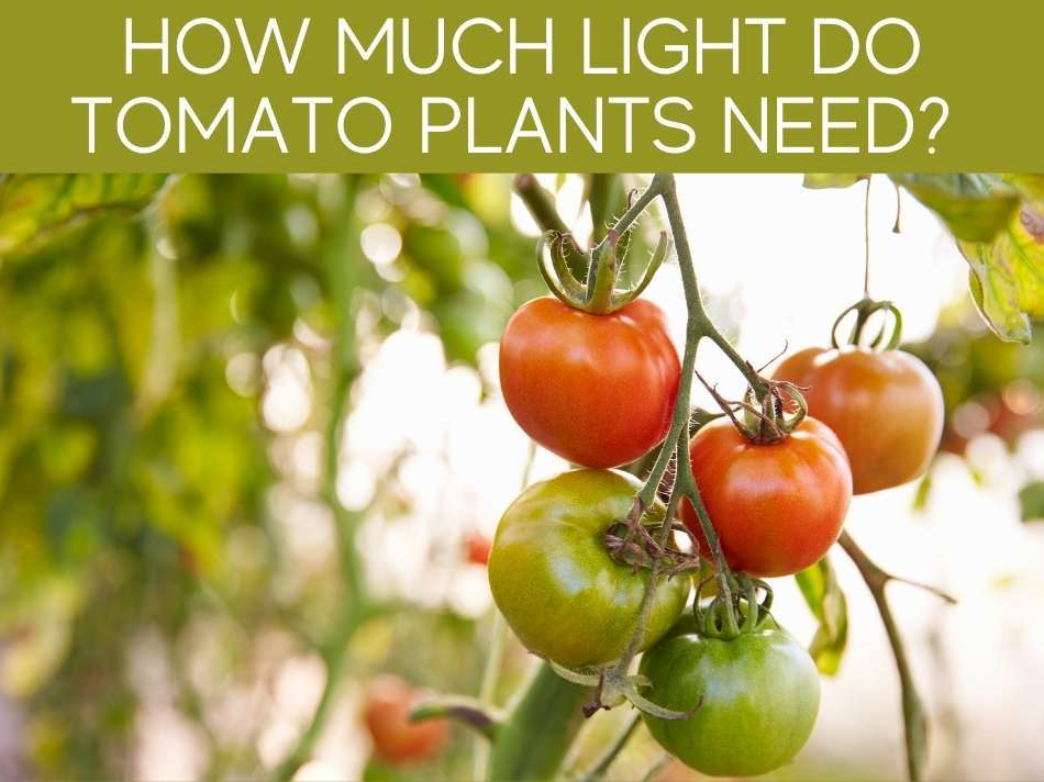 How Much Light Do Tomato Plants Need?