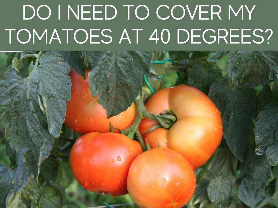 Do I Need To Cover My Tomatoes At 40 Degrees?