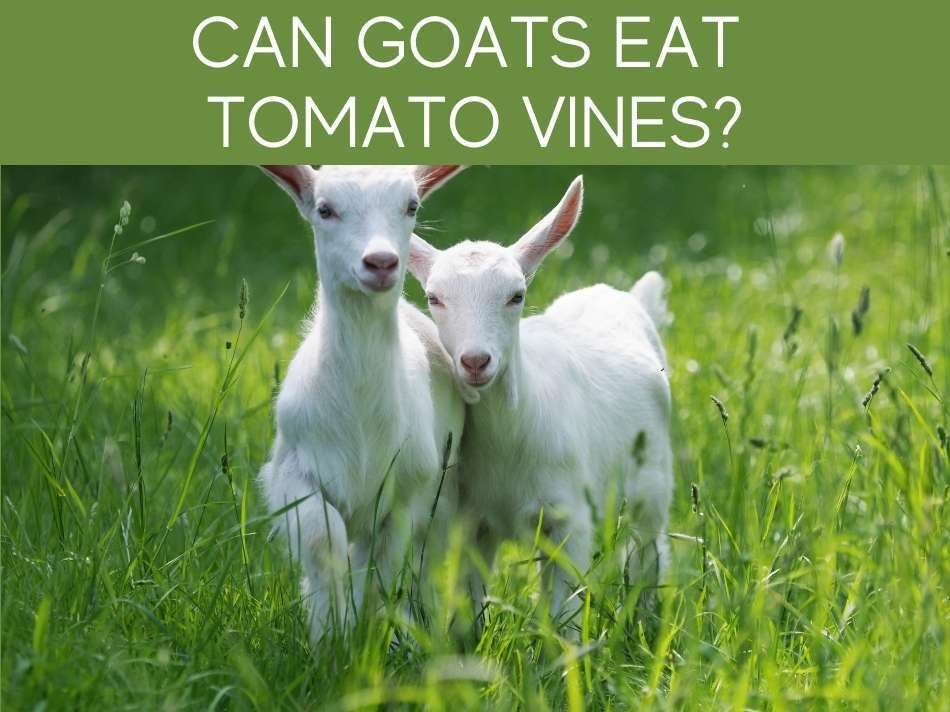 Can Goats Eat Tomato Vines?