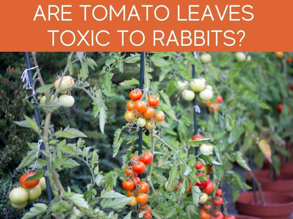 Are Tomato Leaves Toxic To Rabbits?