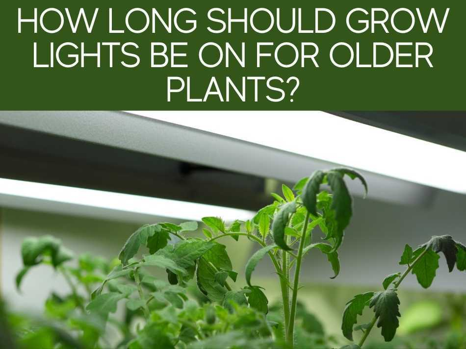 How Long Should Grow Lights Be On For Older Plants?