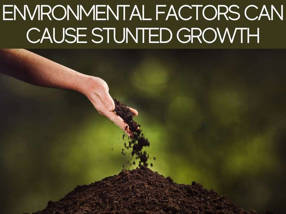 Environmental Factors Can Cause Stunted Growth