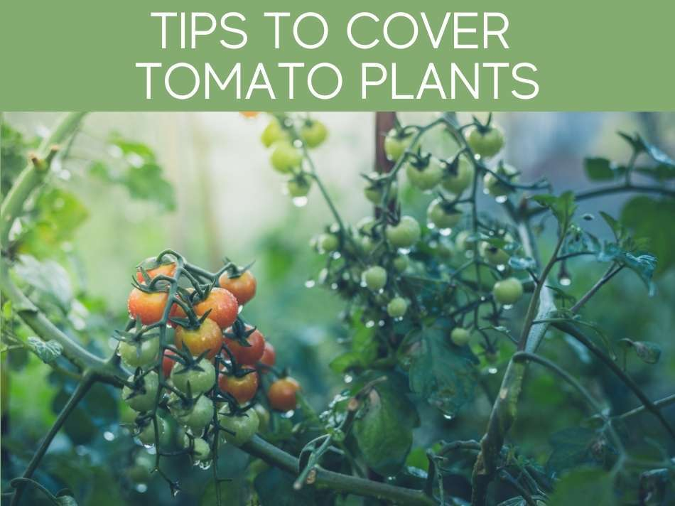 Tips To Cover Tomato Plants