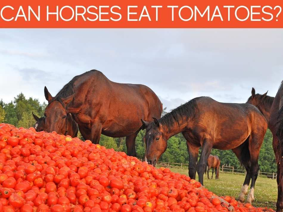 Can Horses Eat Tomatoes?